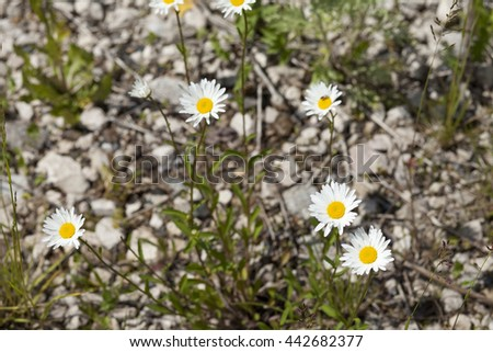 Flower camomile on stones - stock photo