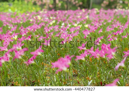 Flower, Closeup Zephyranthes (Amarylieaceae) Rain Lily beautiful blooming in garden Thailand - stock photo