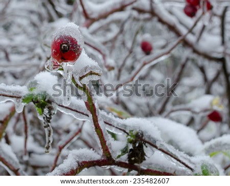 flower covered with snow,Frozen plant - stock photo