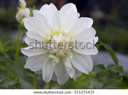 Flower Dahlia white Dahlia â?? beautiful, reliable, long blooming plants with a wide range of colors of flowers and a variety of forms. Dahlias with their abundant blooms will adorn any garden style. - stock photo