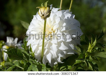 Flower Dahlia white Dahlia - beautiful, reliable, long blooming plants with a wide range of colors of flowers and a variety of forms. Abundant flowering dahlias adorn any garden style. - stock photo