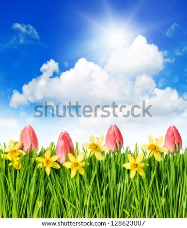 flower field with tulips and narcissus in green grass. spring landscape with blue sunny sky - stock photo