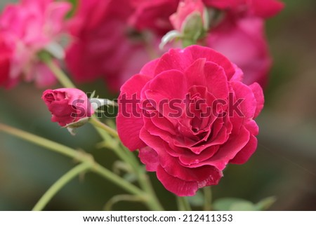 Flower, Flower of spa, Tropical flowers frangipani (plumeria) - stock photo