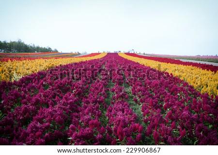 flower garden Colorful Hill at Biei, Hokkaido  - stock photo
