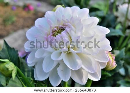 Flower Georgina, Omsk region, Siberia, Russia                             - stock photo