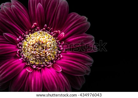 Flower, gerbera, close-up, macro. - stock photo