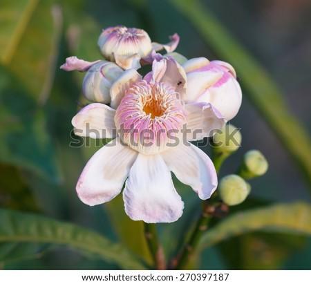 Flower Gustavia gracillima Miers, evening. - stock photo