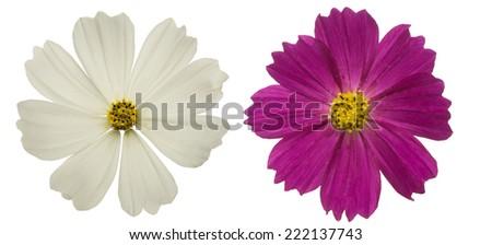 Flower head of cosmos - stock photo