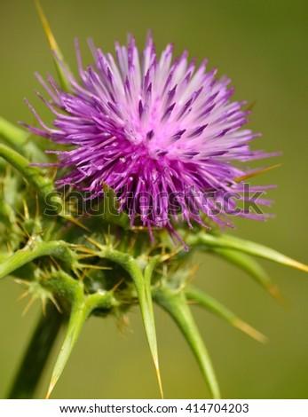 Flower head of milk thistle, Silybum marianum, medicinal plant - stock photo