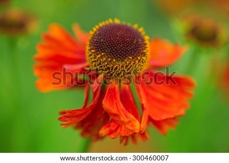 flower Helenium Moerheim Beauty. macro shot. shallow focus - stock photo