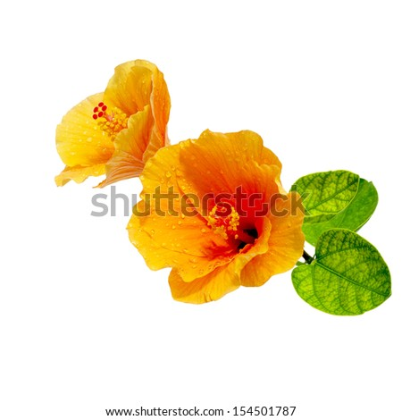 Flower Hibiscus. Isolated on a white. - stock photo