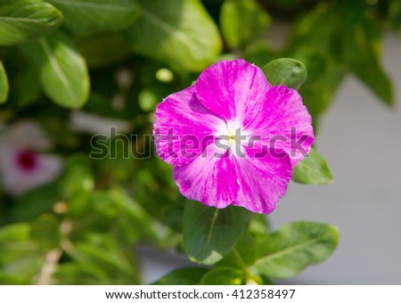 """Flower Impatiens purple For the bright flowers of Impatiens are also called """"spark"""". Colors can be crimson, red and white color. - stock photo"""