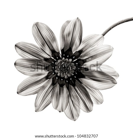 flower in black and white on white background. - stock photo