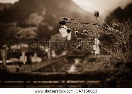 Flower in the rain - stock photo