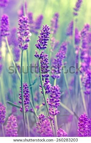 Flower lavender - stock photo
