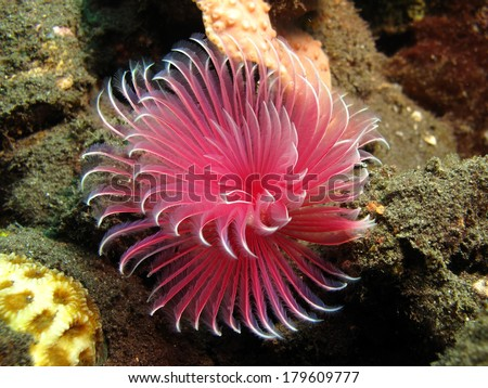Flower like feather duster worms. - stock photo