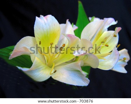 flower lillies on black - stock photo