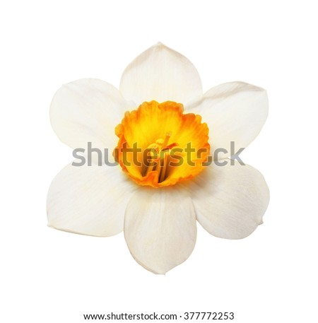 Flower magnificent narcissus flower head isolated on white background - stock photo