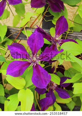 Flower od clematis on green leaves background - stock photo