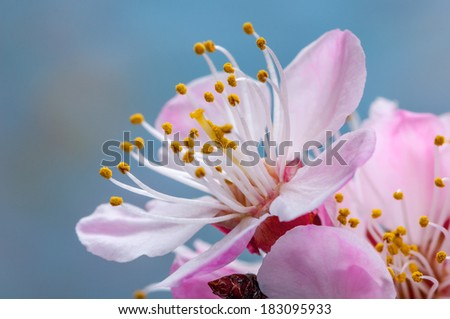 Flower of an apricot tree - stock photo