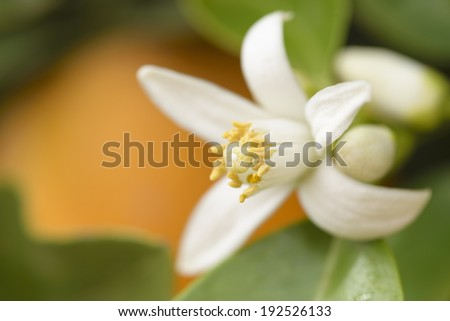 flower of an orange tree among leaves with an orange in the background. Close up. - stock photo