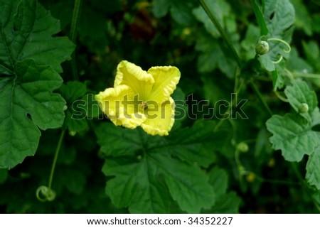 Flower of better melon. - stock photo