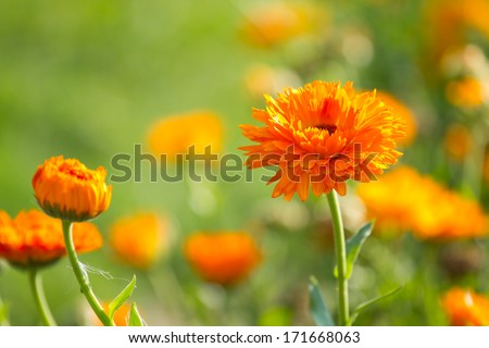 Flower of calendula on blossom - stock photo