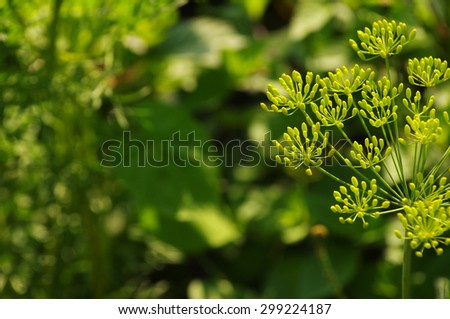 Flower of green dill (fennel). Green background with flowers of dill - stock photo