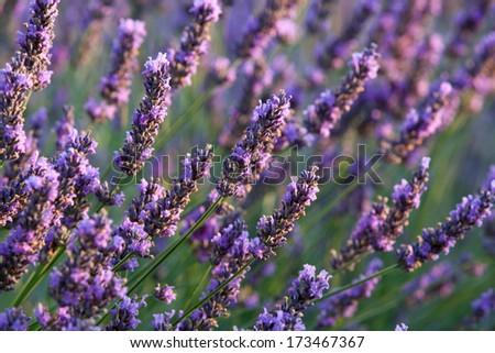 Flower of Lavender during sunrise - stock photo