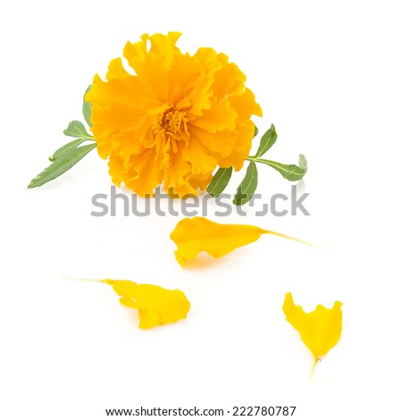 flower of marigold and petals on a white background - stock photo