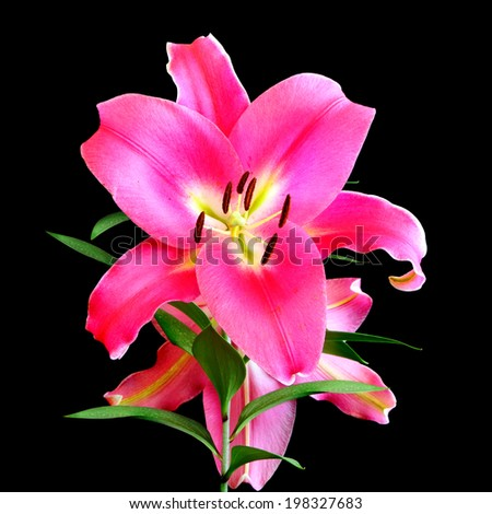Flower of pink lily isolated on the black background - stock photo