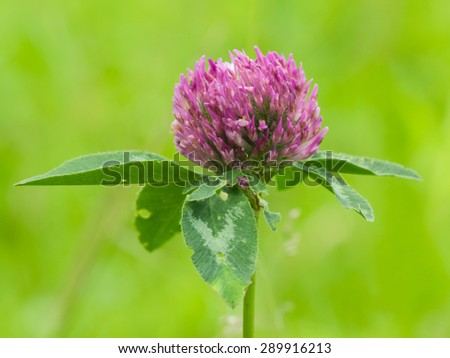 flower of red clover on blurred green macro, selective focus, shallow DOF - stock photo