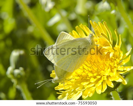 Flower of Taraxacum officinale or Dandelion with two butterflies - stock photo