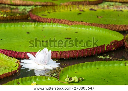 Flower of the Victoria Amazonica, or Victoria Regia, the largest aquatic plant in the world in the Amazon Rainforest in Peru - stock photo