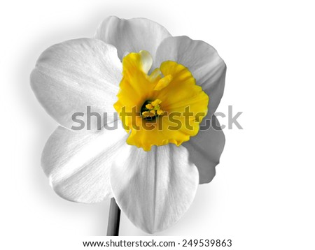 Flower of white Daffodils (Narcissus) - stock photo