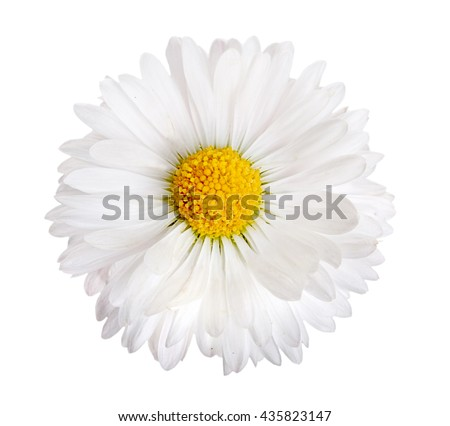 Flower of white daisy isolated on a white - stock photo