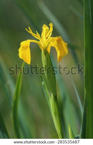 Flower of yellow iris (Iris pseudacorus). Close up - stock photo