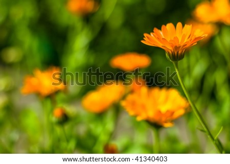 Flower on a meadow, rest in bluntness - stock photo