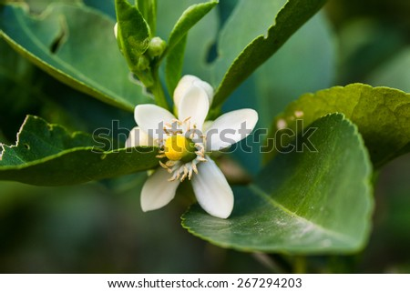 flower orange blossom in spring in pollinating time macro detail - stock photo