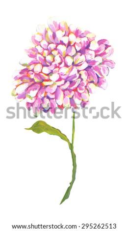Flower  peony dahlia chrysanthemum Watercolor white back ground  original art painting - stock photo