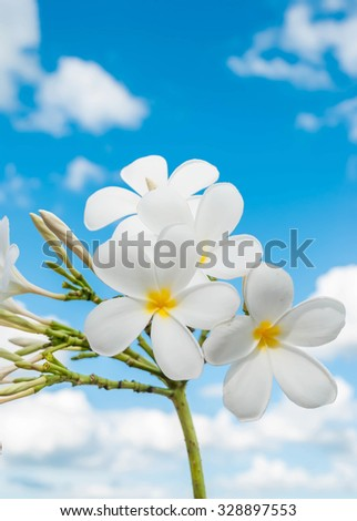 flower Plumeria isolated on the sky background. - stock photo