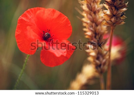 Flower - Poppy - Red Poppy or Corn Rose - in cornfield - for Remembrance Day / Sunday. - stock photo