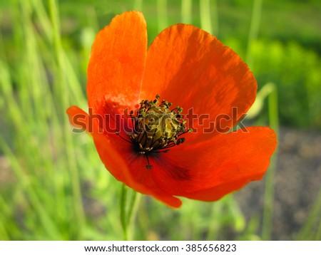 flower Poppy,  springtime, Scarlet blooming, Closeup, season, florescence - stock photo
