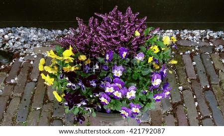 Flower pot pansies                   - stock photo