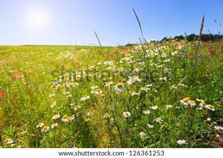 Flower summer field - stock photo