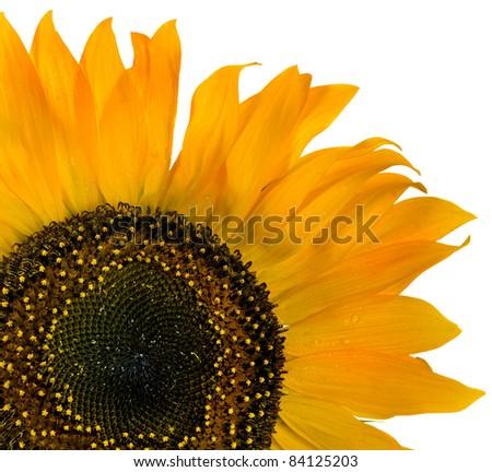 Flower sunflower seeds - stock photo