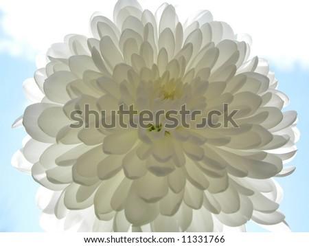 Flower_white flower against blue sky - stock photo