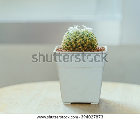 "Flower White of Cactus "" Mammillaria schiedeana "" in white square pot or houseplant on table - stock photo"