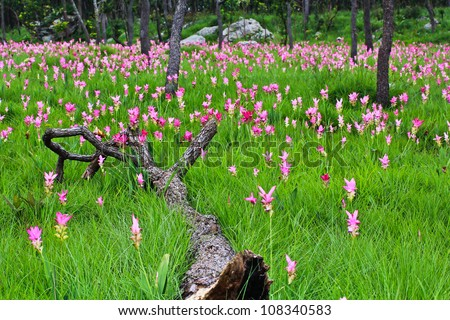 flower Wild siam tulips blooming in the jungle in Chaiya phoom, - stock photo
