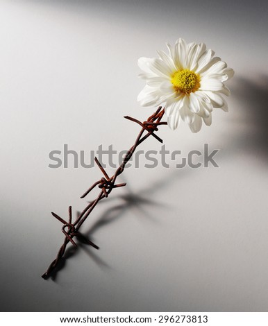 flower with barbwire stem, war refugees symbol - stock photo